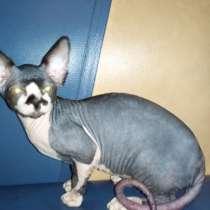 Продам котенка канадского сфинкса, в Вихоревке