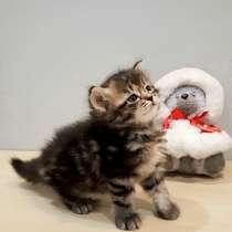 Сибирский котёнок (девочка), в Москве