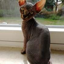Кот сфинкс мальчик, в г.Бохум
