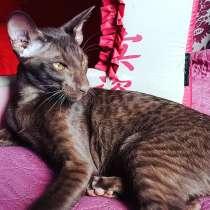 Oriental cats, в г.Тбилиси