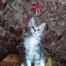 Котята Мейн Кун, в г.Могилёв