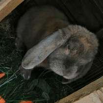 Кролики породы баран, в Саратове