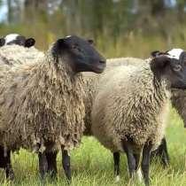 Племенные овцы породы Романовская (из Европы класса Элита), в г.Ереван