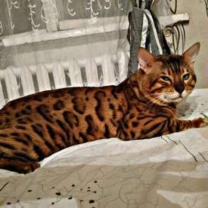 Продам бенгальских котят, в Санкт-Петербурге