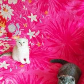 Предлагаются к продаже шотландские котята, в г.Кишинёв