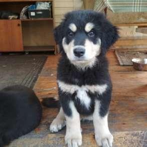 Продаются щенки бурят-монгольского волкодава, в Москве