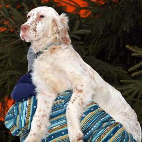 Английский сеттер щенок из элитного питомника, в Москве