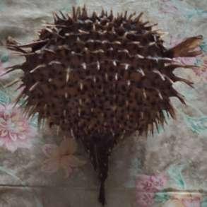 Чучело «Настоящей рыбы-ежа», в г.Алматы