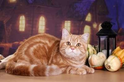 Котёнок скоттиш страйт редкого окраса