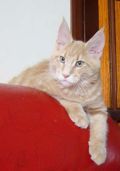 Котята мейн кун в продаже мэйн кун