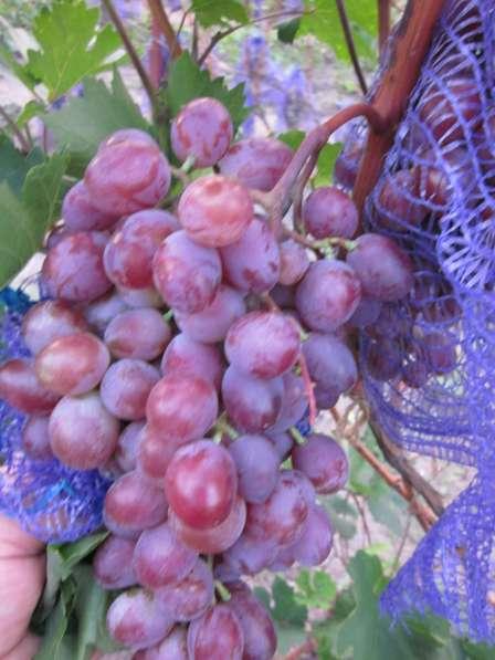 Саженцы и черенки винограда почтой по всей России