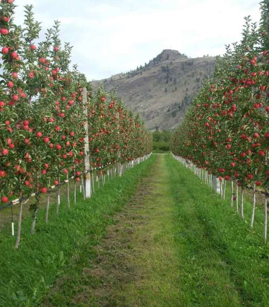Саженцы яблони, питомники саженцев яблонь в фото 5