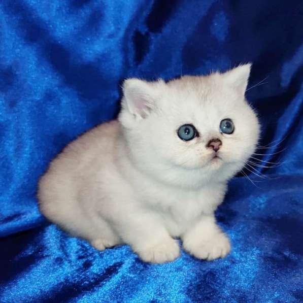 Шотландские котята в фото 6