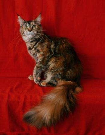 Котята мейн кун из питомника от титулованных родителей