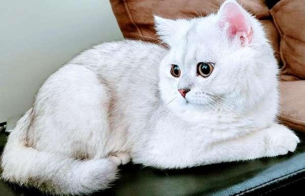 Шотланский кот (Straight) ждет невесту SCOTTISH FOLD