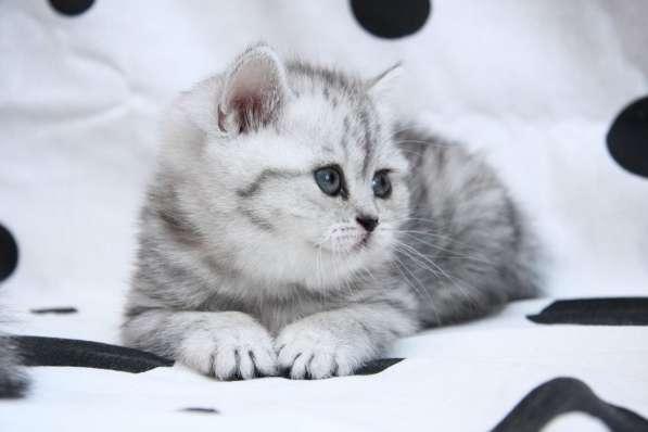 котята вискасного окраса в Санкт-Петербурге фото 3
