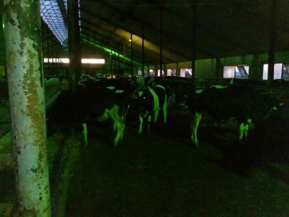 Дойные коровы с 1-5 отел
