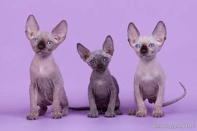 Упитанные и воспитанные котята-сфинкс в фото 4