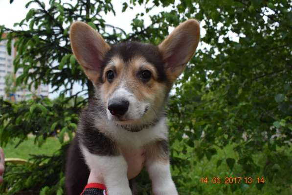 Вельш корги пемброк щенки в Смоленске фото 14
