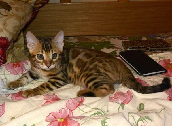 Бенгальские котята в Челябинске фото 4