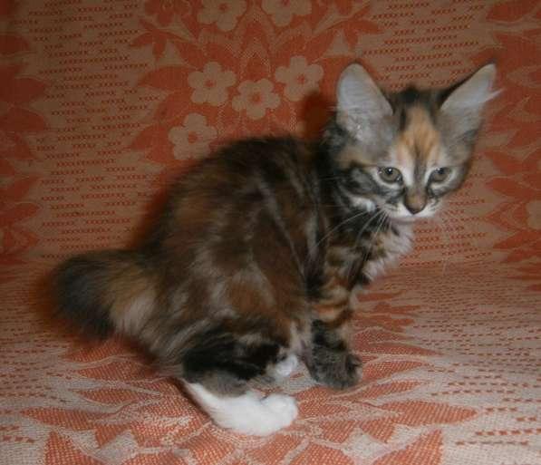 Котята курильского бобтейла в Тюмени фото 5