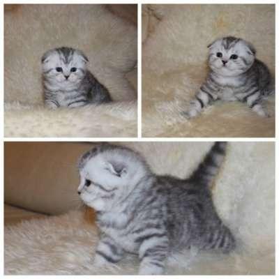 Профессиональный питомник кошек