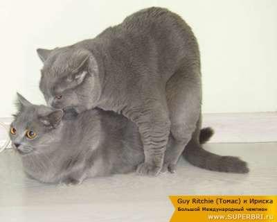 Кот для вязки продаю