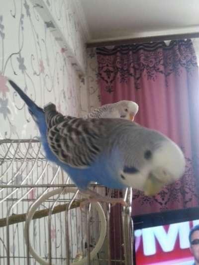 Двух волнистых попугайчиков с клеткой
