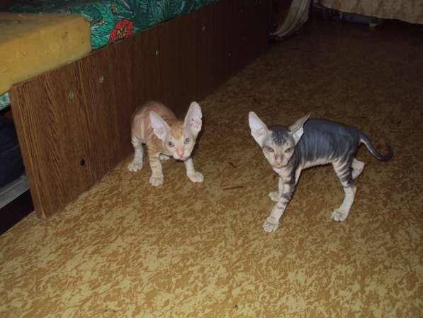 Котята донского сфинкса в Железногорске фото 8