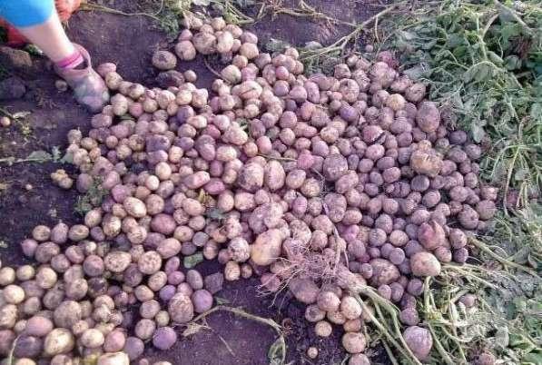 Семенной картофель элитных сортов