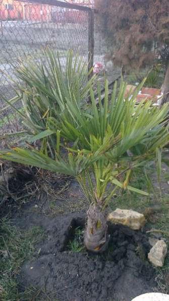 пальмы для ог ростова