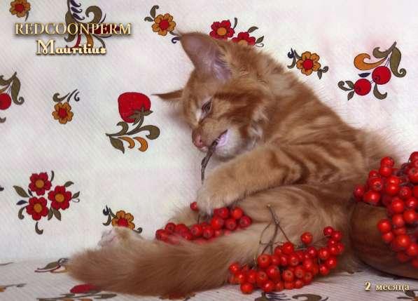 Котята мейн кун красные в Москве фото 5