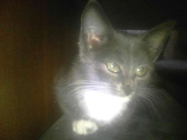 Метис Русской голубой кошки 1,5мес