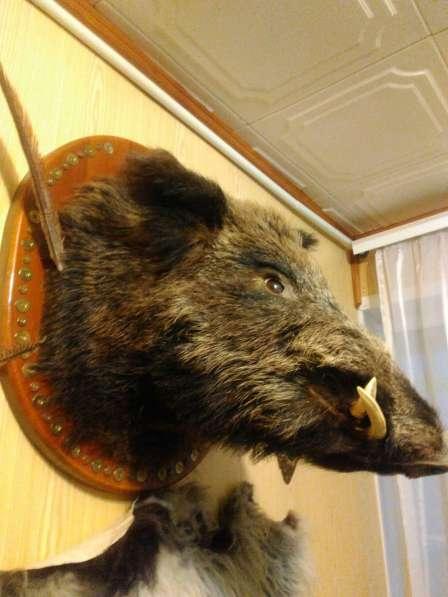 Продам голову кабана в Саратове фото 3