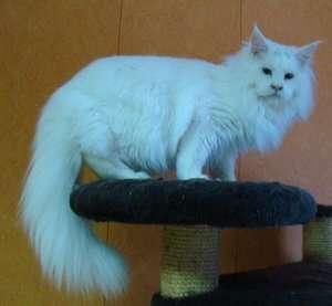 Продам котенка Мэйн Кун в Люберцы фото 7