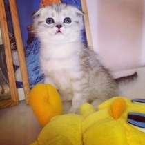 Шотландский нарядный котенок, в Москве