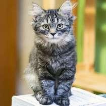 Полосатое очарование, игривая озорная девочка-котенок Монька, в г.Москва
