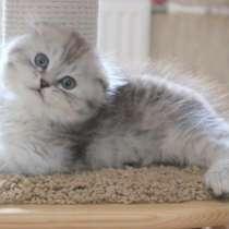Ласковый котик от родителей с родословными, в Санкт-Петербурге