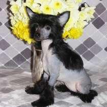 Маленькая принцесса - китайская хохлатая собака, в Москве