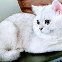 Шотланский кот (Straight) ждет невесту SCOTTISH FOLD, в г.River Edge