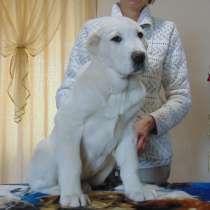 Красивый щенок САО, в Красноярске