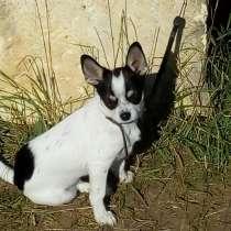 Продаются щенки чихуахуа племенные, с клеймом, привиты, в Краснодаре