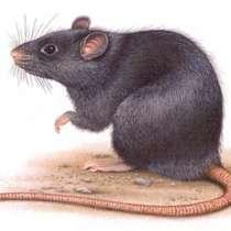 Уничтожение крыс и мышей, в Москве