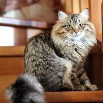 Сибирский котенок из питомника, в Челябинске