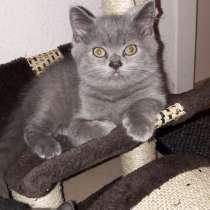 Британские котята голубого окраса, в г.Штутгарт