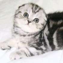 Вислоухие мраморные котята, в Санкт-Петербурге