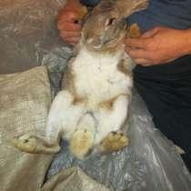 Крольчата на разведение и взрослые кролы на обмен и на мясо, в Покрове