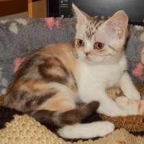 Скоттиш страйты - шотландские котята, в Костроме