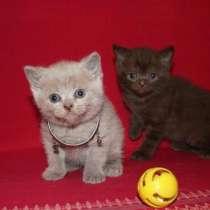 Британские и шотландские котята, в Санкт-Петербурге