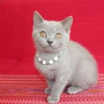 Шикарный британский котенок, в Санкт-Петербурге